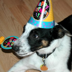 black and white puppy wearing birthday hat